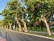 Age-old Indian-almond trees in Con Dao island