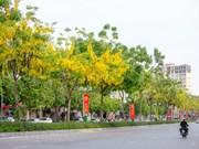 Golden shower flowers blooming in Hanoi