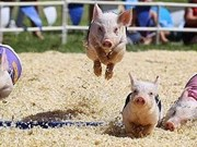 Racing pigs on fire on racetrack