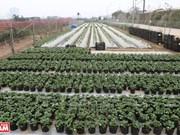 Strawberry farm in Hanoi