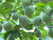 Moc Chau  promotes farm produce export
