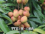 Early ripen lychees sold at high price