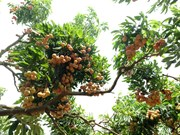 """""""Thieu lychee kingdom"""" looks to conquer demanding markets"""
