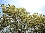 'Treasure' tree of Dinh Thon village in full bloom