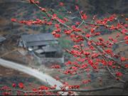 Red silk-cotton flower heats up Ha Giang rocky plateau