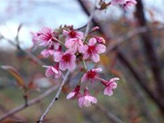 To Day blossom in full swing in Dien Bien province
