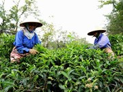 Tea exports up 15.4 percent in Q1