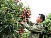Bac Giang lychee harvest season sets in
