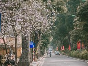 Ban flowers in full bloom in Hanoi