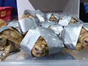 Philippines seizes over 1,500 tortoises in luggage