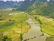 Golden hue of rice fields in Cao Bang province