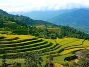 Hoang Su Phi's terraced rice fields boast a golden glow