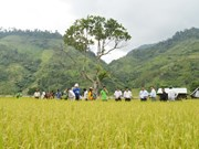 Project improves rice growing in mountainous areas in Quang Nam