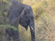 Project to protect Vietnam's elephants kicks off