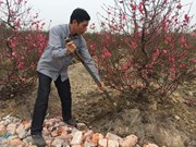 Cold spell needed for peachy Lunar New Year