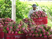 Australia approves in principle import of Vietnam's dragon fruit