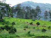 Central Highlands rearranges activities of plantations