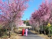 Cherry blossom festival in Da Lat cancelled