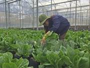 Israel assists Dien Bien farmers in growing safe vegetables