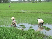 Unseasonal rains hurt Mekong Delta crops