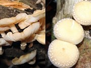 New shiitake mushroom species found in Vietnam