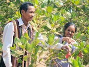 Cashew farming area in Central Highlands shrinks