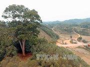 Bac Giang: Ancient tree receives national heritage status