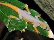 Ca Mau: 700 psychedelic Vietnam geckos found on Hon Khoai island