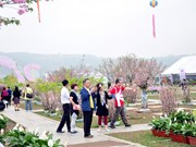 Cherry-yellow apricot blossom festival to open in Quang Ninh