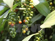 Peppercorn export drops in two months
