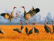Red-headed cranes return to Phu My Reserve