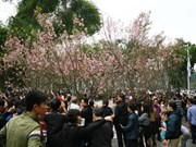 Japanese cherry flowers to be showcased in Hanoi