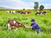 Vietnam, Australia strengthen cow-breeding cooperation