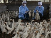 A/H5N1 avian flu spotted in Bac Ninh