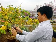 Cherry-yellow apricot blossom festival opens in Quang Ninh