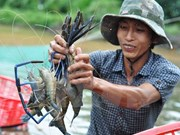 Kien Giang to boost shrimp production in 2017