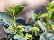 Vietnamese tea firms eye US market