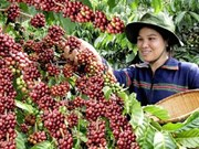 Vietnam's coffee price highest in six years