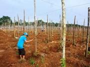 Dak Nong launches value chain building for pepper corns