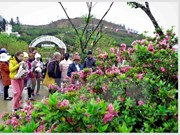 Rhododendron flowers await visitors at festival in Sa Pa
