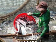 Soaring tra fish prices entice Mekong farmers