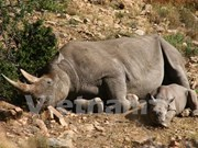 Malaysia seizes large amount of rhino horns at airport