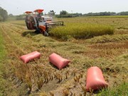 New technology ups rice value in Can Tho