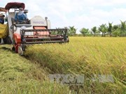 Mekong Delta rice productivity falls slightly