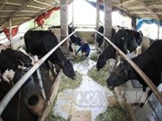 Vinamilk to invest in milch cow farm in Ha Nam