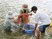 Vietnam eyes 7,000 ha of shrimp farming on sandy land by 2025