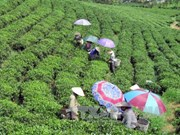Vietnam's five-month tea export sees strong growth
