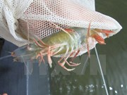 Ca Mau looks to develop shrimp sector