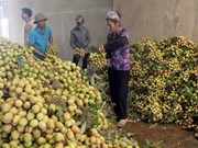 Bac Giang exports lychees to China