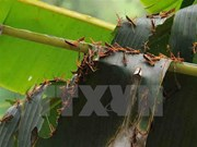 Grasshoppers damage crops in northern Cao Bang province
